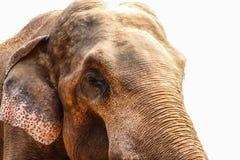 在白色背景隔绝的大象 免版税库存照片