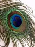 在白色背景隔绝的孔雀羽毛 免版税库存照片