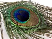 在白色背景隔绝的孔雀羽毛 库存照片