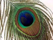 在白色背景隔绝的孔雀羽毛 库存图片