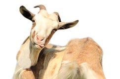 在白色背景隔绝的山羊 图库摄影