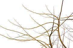 在白色背景隔绝的干燥不生叶的树的抽象样式 库存照片