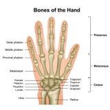 在白色背景隔绝的手医疗传染媒介例证的骨头 皇族释放例证
