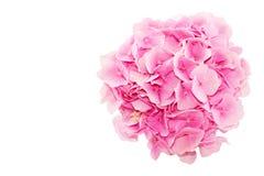 在白色背景隔绝的新鲜的八仙花属花顶视图  库存图片