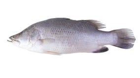 在白色背景隔绝的新鲜的攫夺者鱼 免版税库存照片