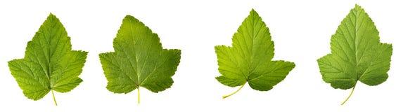 在白色背景隔绝的无核小葡萄干叶子 免版税库存照片