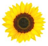 在白色背景隔绝的晴朗的向日葵向日葵 图库摄影