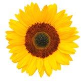 在白色背景隔绝的晴朗的向日葵,包括裁减路线 免版税库存照片
