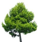 在白色背景隔绝的杉树 免版税库存图片