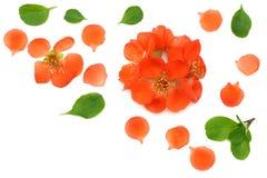 在白色背景隔绝的柑橘开花 开花红色 与拷贝空间的顶视图 库存图片