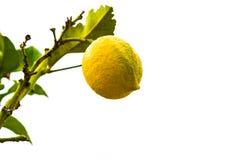 在白色背景隔绝的柠檬树分支 免版税库存图片