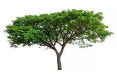 在白色背景隔绝的树JPG 免版税库存照片
