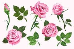 在白色背景隔绝的桃红色传染媒介玫瑰元素集 库存例证