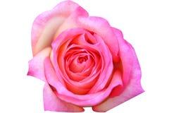 在白色背景隔绝的桃红色玫瑰色花顶视图  免版税库存照片