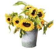 在白色背景隔绝的桶的向日葵 库存照片
