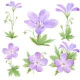 在白色背景隔绝的植物的水彩例证套淡紫色大竺葵花 为网络设计,化妆用品完善 库存例证