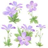 在白色背景隔绝的植物的水彩例证套淡紫色大竺葵花 为网络设计,化妆用品完善 皇族释放例证