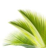 在白色背景隔绝的椰子叶子 免版税库存照片