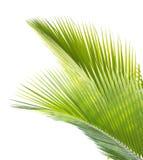 在白色背景隔绝的椰子叶子 免版税库存图片