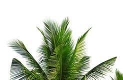 在白色背景隔绝的椰子树特写镜头叶子 免版税库存照片