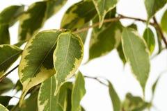 在白色背景隔绝的榕属树 免版税库存照片