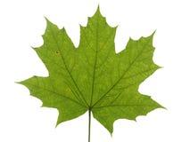 在白色背景隔绝的槭树的绿色叶子 库存图片