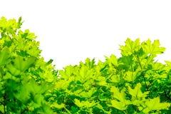 在白色背景隔绝的槭树绿色叶子 免版税库存图片