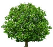 在白色背景隔绝的橡树 免版税库存图片
