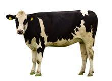 在白色背景隔绝的母牛 库存图片