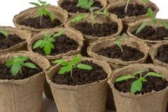 在白色背景隔绝的泥煤罐的年轻蕃茄幼木新芽 r 免版税库存图片
