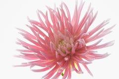 在白色背景隔绝的淡粉红的大丽花花 库存图片