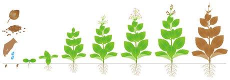 在白色背景隔绝的烟草植物成长的周期 向量例证