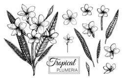 在白色背景隔绝的热带花的传染媒介例证 库存例证