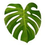 在白色背景隔绝的热带monstera绿色叶子 免版税库存图片
