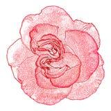 在白色背景隔绝的玫瑰色花剪影 免版税图库摄影