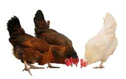 在白色背景隔绝的白色母鸡 鸡和公鸡在农场,射击户外 土气题材 五颜六色的雄鸡 库存图片
