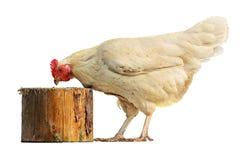 在白色背景隔绝的白色母鸡 免版税库存图片
