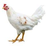在白色背景隔绝的白色母鸡 图库摄影