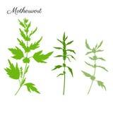 在白色背景隔绝的益母草手拉的传染媒介剪影,绿色草本医疗镇静植物,有机食品 免版税库存照片