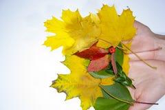 在白色背景隔绝的秋叶 库存图片