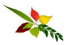 在白色背景隔绝的秋叶 免版税库存照片