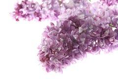 在白色背景隔绝的紫色丁香 背景细部图花卉向量 图库摄影