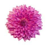 在白色背景隔绝的紫色翠菊花 库存照片