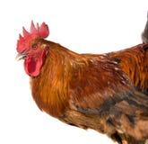在白色背景隔绝的红色雄鸡 免版税图库摄影