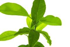 在白色背景隔绝的绿色叶子集合 免版税库存照片