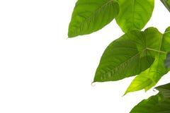 在白色背景隔绝的绿色自然叶子 免版税库存图片
