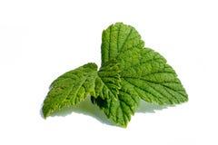 在白色背景隔绝的绿色莓叶子 库存照片