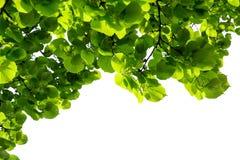 在白色背景隔绝的绿色菩提树分支叶子 背景蓝色云彩调遣草绿色本质天空空白小束 有机概念 图库摄影
