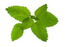 在白色背景隔绝的绿色迈利萨角叶子 库存图片