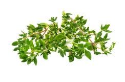 在白色背景隔绝的绿色麝香草束 免版税库存照片